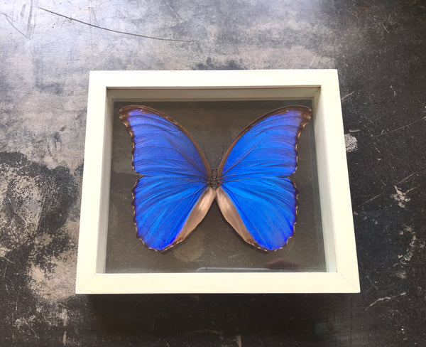 Giant Blue Morpho Butterfly - Sustainably Sourced - Double Glass Frame