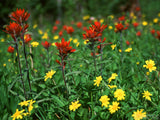 red and yellow alpine wild flowers