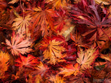 autumn backgrounds red maple leaves on forest floor