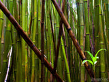 bamboo forest and young shoots