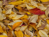 fall backgrounds bed of leaves yellow