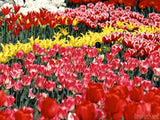 bed of red and yellow tulips