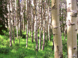 tree trunk view of birch forest