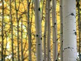 yellow leaves of birch trees in autumn light