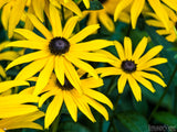 summer background of black eyed susans