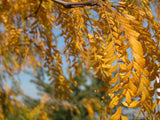 branches of golden leaves