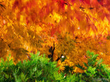 fall backgrounds burning bush orange red tree leaves green base
