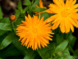 calendula yellow daisy