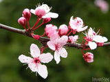 closeup of cherry blossom branch