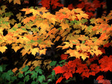 leaves in fall red green and yellow color splash