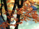beautiful maple leaves in fall colors