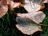 leaves on grass with fall dew drops