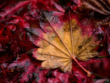 unique fall leave on dark red background