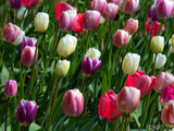 background field of purple white and pink tulips