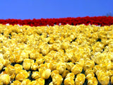 field of yellow and red tulips