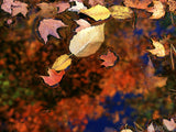 floating fall leaves in pond