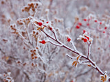 winter background of frosted berries