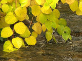 golden leaves over a cascading river
