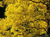 golden locust tree in fall background