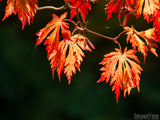beautiful background of golden orange fall maple leaves