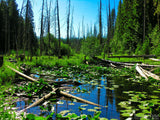 green marsh lilly pads and the forest