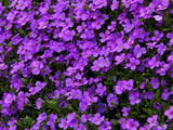 purple background of ground cover flowers