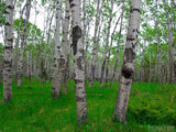 grove of silver birch trees