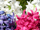 hyacinths bunches in white pink and purple