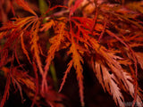 lacy maple leaves in fall orange color