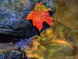 red maple leaf at the edge of a stream