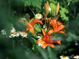 wild spring lilies and daisies