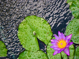 lily pad and pin flower in the rain