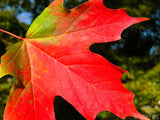 red green yellow maple leaf in fall