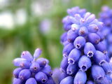 closeup of muscari neqlectum