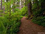 path through the forest of ferns