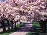 spring trees blossoming on either side of pathway