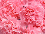 carnations of pink for mom's day
