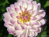 large pink edged dahlia