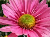 pink daisy close up view