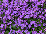 a background of purple thyme