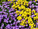 purple and yellow backdrop of flower bed