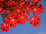 red leaves in blue sky fall background