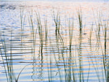 reeds by the lake edge