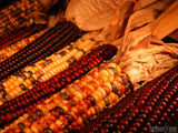 rows of Indian corn