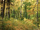 yellows and greens of sunlit fall forest
