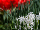 white hyacinth in spring