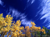 yellow birch trees in fall