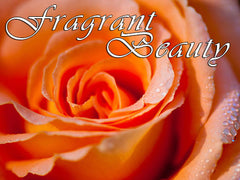 a beautiful fragrant orange rose