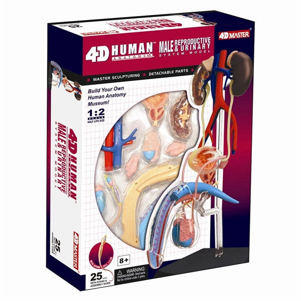 4D Male Reproductive System Model