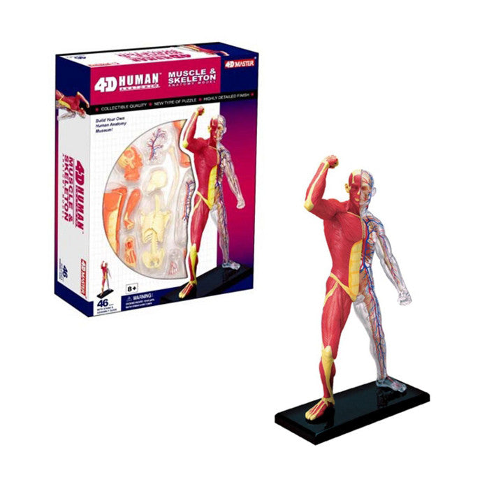 4D Human Muscle and Skeleton Model